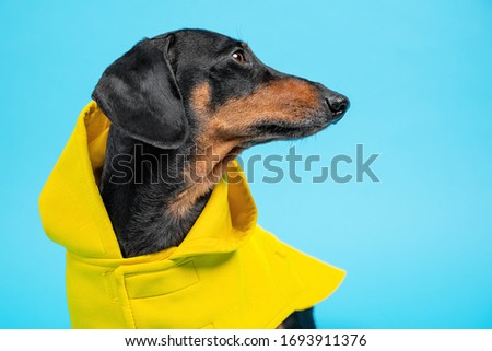 Funny black and tan dachshund wearing bright yellow coat with a hood, looking to the right. Long nose profile, blue background, copy space. #1693911376