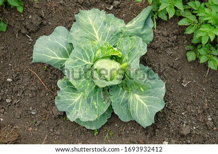 Fresh cabbage from farm field. View of green cabbages plants.Non-toxic cabbage.Non-toxic vegetables.Organic farming. #1693932412