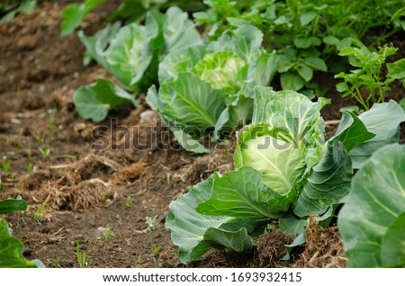 Fresh cabbage from farm field. View of green cabbages plants.Non-toxic cabbage.Non-toxic vegetables.Organic farming. #1693932415