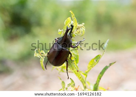 Dynastinae or rhinoceros beetles are a subfamily of the scarab beetle family. Other common names – some for particular groups of rhinoceros beetles – include Hercules beetles, unicorn beetles or horn  #1694126182