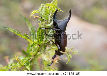 Dynastinae or rhinoceros beetles are a subfamily of the scarab beetle family. Other common names – some for particular groups of rhinoceros beetles – include Hercules beetles, unicorn beetles or horn  #1694126185