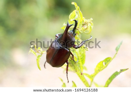 Dynastinae or rhinoceros beetles are a subfamily of the scarab beetle family. Other common names – some for particular groups of rhinoceros beetles – include Hercules beetles, unicorn beetles or horn  #1694126188