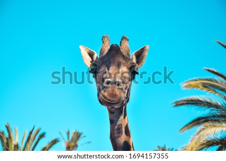 A cool giraffe is so beautiful and funny.The backround has palm trees and complete the mood of the shot.Giraffe looks happy and peaceful