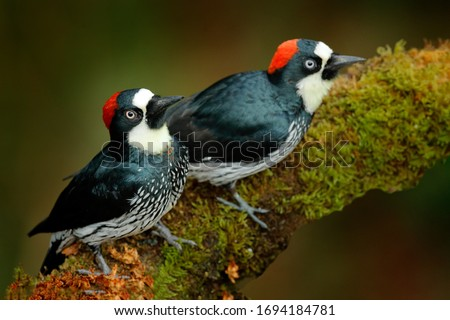 Acorn Woodpecker, Melanerpes formicivorus. Beautiful two bird sitting on the green mossy branch in habitat, Costa Rica. Birdwatching in America. Pair of Woodpecker from Costa Rica mountain forest. Royalty-Free Stock Photo #1694184781