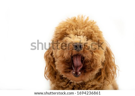 Cute poodle yawning in a photo studio posing against a white background.