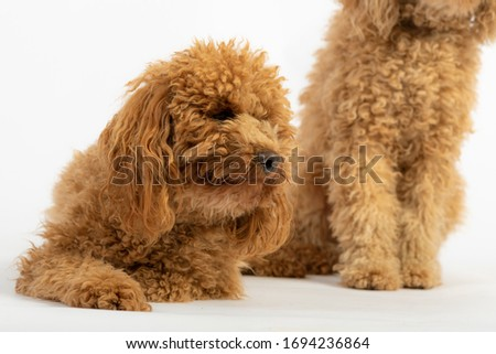 Cute poodles in a photo studio posing against a white background.