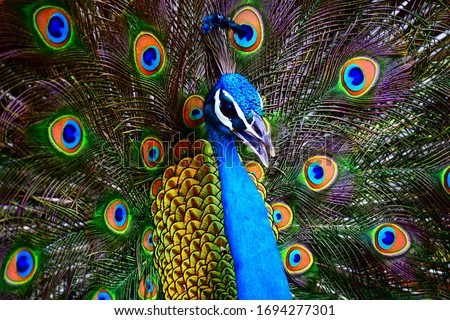 Portrait of a colorful dancing peacock . Peacock close up portrait. Peacock wallpaper and backgrounds. #1694277301