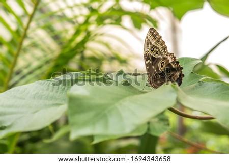 Gold-edged Owl-Butterfly (Caligo uranus) resting on a leaf in Costa Rica jungle