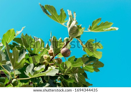 Figs on a fig tree branch isolated on a blue sky background. Green leaves and fig fruits. Ficus carica. Common fig. Harvest of exotic fruits. Close-up. #1694344435