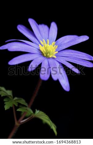 Purple blue flower on black background. Anemone blanda, winter windflower, in high resolution closeup macro photography.