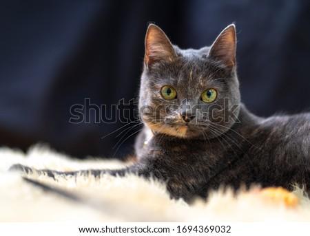 Grey house cat lying on the carpet #1694369032