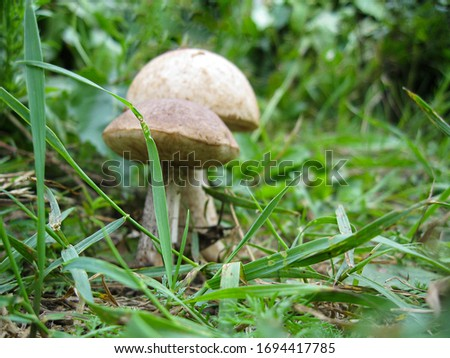 Forest glade on which grass and mushrooms grow. Focus is on the grass. Picture with soft focus on the mushrooms.