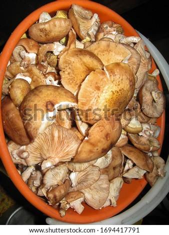Cut edible yellow boletus, Suillus luteus mushrooms in red bucket in kitchen village stove. Tastu mushrooms. Picture with soft focus on the mushrooms.
