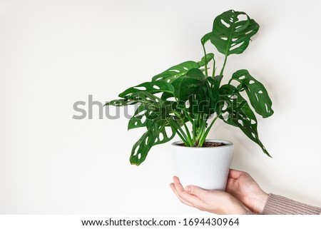 Hands holding monstera monkey mask plant (Monstera Obliqua or Monstera adansonii) in flower pot on white background. Concept of urban jungle, growing plants at home Royalty-Free Stock Photo #1694430964