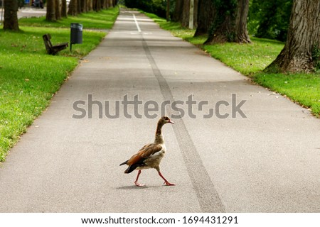 A wild goose walks along an empty footpath in a public park during self-isolation. After the arrival of coronavirus, wild animals began to return to the territories occupied by people #1694431291