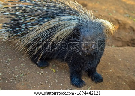 Cape porcupine or South African porcupine ( Hystrix africaeaustralis ) in a zoo with white spines and