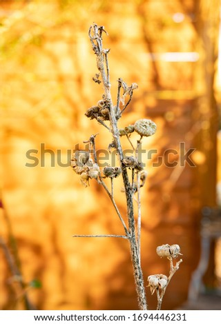 a dried hollyhock plant showing the seed pods from last year. #1694446231