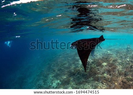 A Manta ray (Manta alfredi) swims over an oceanic pinnacle in Komodo National Park, Indonesia. Mantas are found worldwide and feed exclusively on plankton.