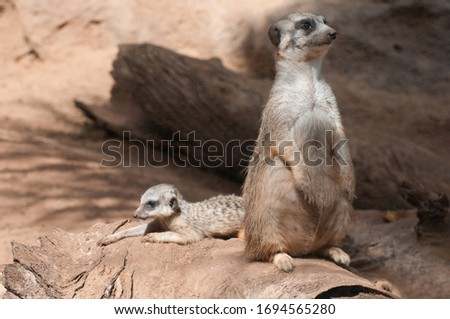 Meerkats with cubs are watching the area