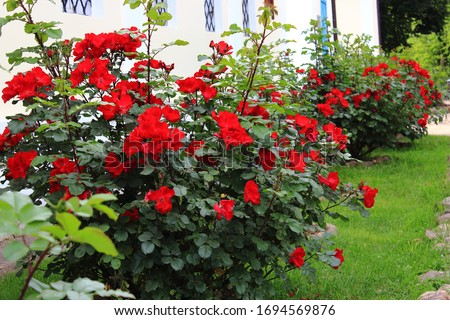 Red garden roses bush grow at the wall of the old house. Red roses bushes blooming in church garden. Care of plants and shrubs. Landscape design in the garden  #1694569876