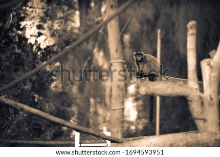 The red ruffed lemur (Varecia rubra) sitting on a tree branch in a zoo. It is one of the largest primates of Madagascar. Black and white/sepia picture.