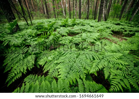 Dense fern thickets close-up. Beautiful nature background with many ferns in scenic forest. Rich greenery among trees. Chaotic wild ferns in forest thicket. Vivid green texture of lush fern leaves. Royalty-Free Stock Photo #1694661649
