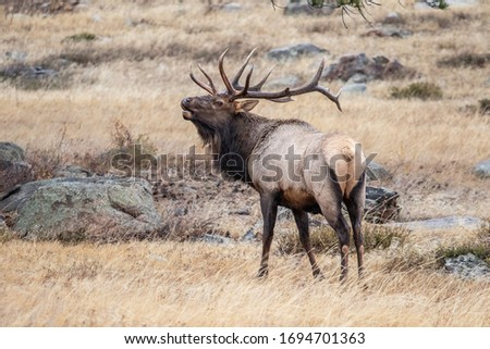 Photo taken of a wild elk at the Rocky Mountain National Park in the Fall of 2019