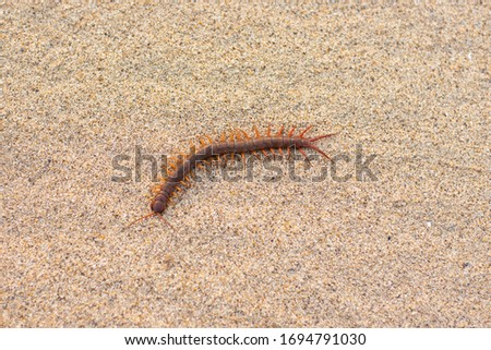 Red centipede in the sand Poisonous animals are dangerous predators in the desert. Royalty-Free Stock Photo #1694791030