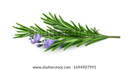 Sprig of fresh flowering rosemary isolated on a white background. Realistic vector illustration #1694907991