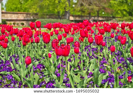 Abstract landscape view of beautiful flower field of red common garden tulip ,Didier's tulip (Tulipa gesneriana) in public park ,is ornamental flowering plant for landscaping garden in spring season #1695035032