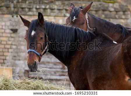 Black and brown horses eating hay. Royalty-Free Stock Photo #1695210331