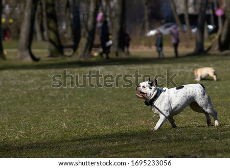 bulldog runs and play towards the camera Royalty-Free Stock Photo #1695233056