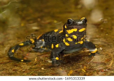 Portrait of   poisoned fire salamander  salamandra salamandra