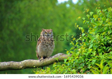 Owl perching on branch in green forest picture. Cute and small big eyes. Green blurry background with the owl in the foreground. Barn,snowy, barred, Elf owl. Cute owl on branch in vibrant green forest