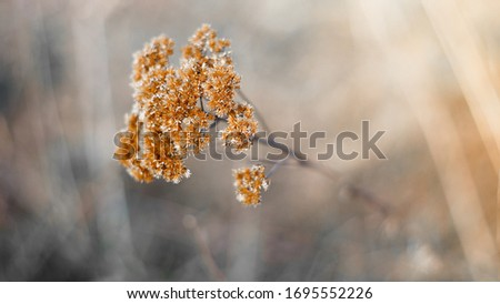Dry tall reed grass. The bouquet wilted. Dead wood in warm colors with a shallow depth of field. Shot on Helios 16: 9
