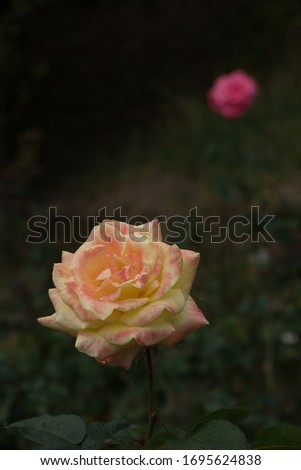 yellow rose in front of the picture and a pink rose in the back