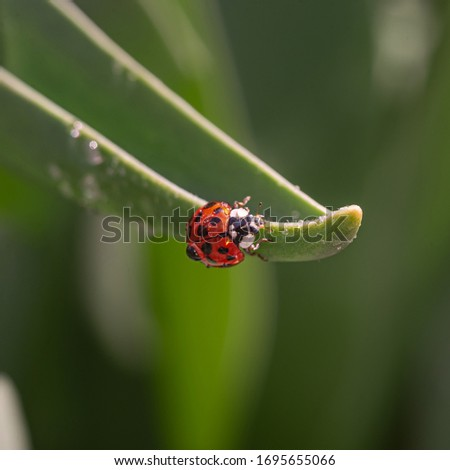 Red ladybug on a green blade of grass plant. Little ladybirds are covered with dew drops. Summer morning. Cute and beautiful macro for wallpaper or photo picture.