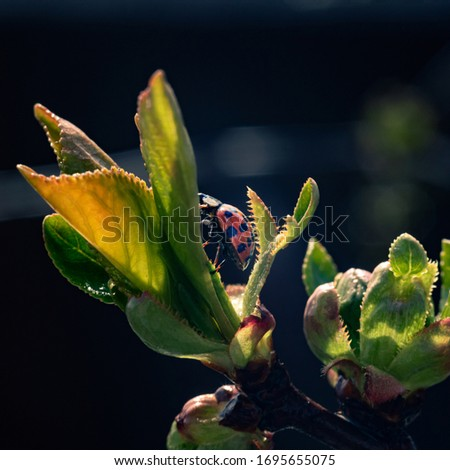 Red ladybug on a green blooming spring leaf. Little ladybirds creeping up to the sun. Summer morning. Cute and beautiful macro on dark background for wallpaper or photo picture.