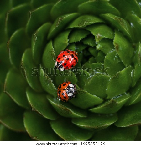 Couple of red ladybugs on a green spiky plant succulent Saxifrage. The little ladybirds are covered with dew drops. Cute and beautiful macro for wallpaper or photo picture.