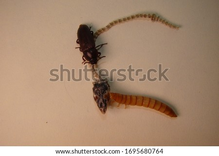 mealworm ; life cycle of a mealworm (Larva and Adult) Meal worms eating lizard carcass . superworm  - Stages of the meal worm  - the life cycle of a mealworm  ,  meal worms , super worm #1695680764