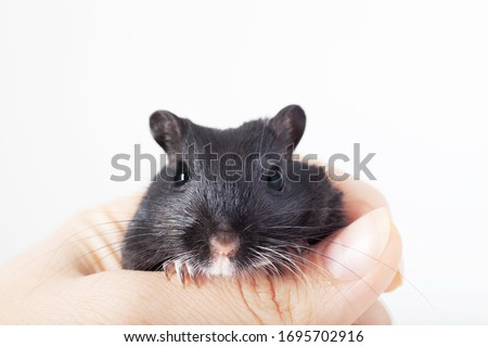 funny black mouse gerbil in human hand. isolated on white background