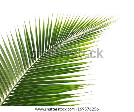 Green coconut leaf on white background  #169576256