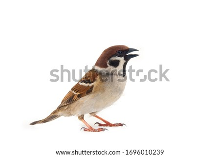 Sparrows as the most common birds in the human environment. Eurasian tree sparrow (Passer montanus) in dynamics isolated on a white background