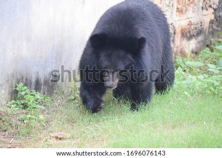 Bear Walking in a Zoo. Black Cute Bear #1696076143