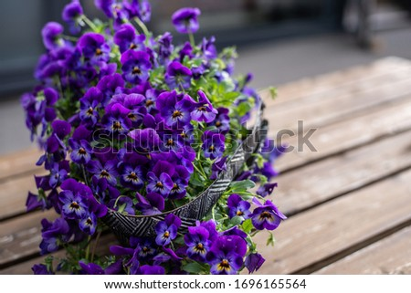 Viola cornuta, horned pansy, tufted pansy. Bunch of dark-lila blooming pansies at wooden background. Copy space horizontal layout