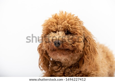 Portrait in studio of one apricot hairy poodle on white background