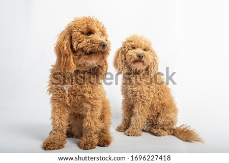 Portrait in studio of two apricot hairy poodles on white background.
