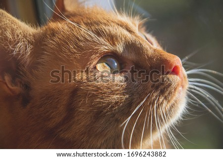 Green eyes of red cat. Close up picture of cat eyes and whiskers. Pets  with sun shine. Portrait of domestic animal.