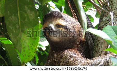 Sloth trying to climb a tree, Costa Rica