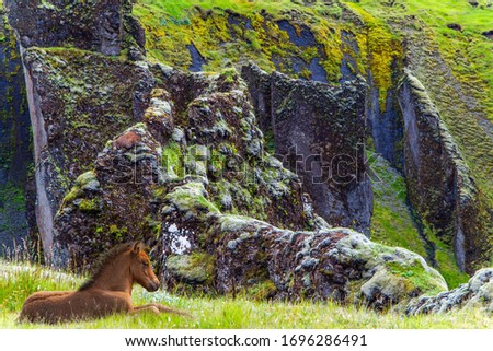 Iceland in summer. Gorgeous Icelandic horse resting on the edge of the beautiful canyon in Iceland - Fyadrarglyufur. Rocks covered with moss. Foggy  day. The concept of active, eco and photo tourism
